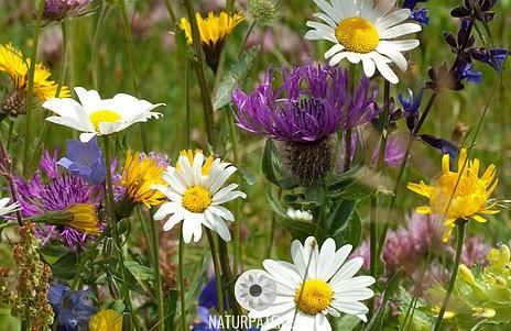 Kornblumen Disteln und Margeriten in Blühwiese