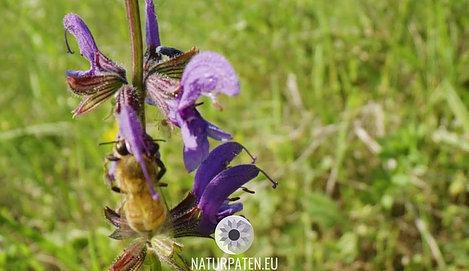 Biene auf Katzenminze in Blühfläche