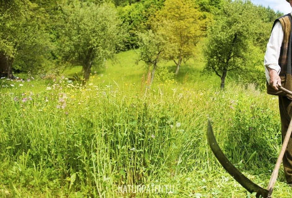 Sensen in der Blühwiese
