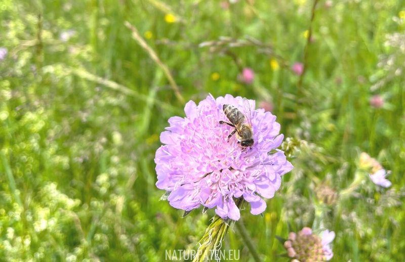 Biene in Blühwiese auf Skabiose