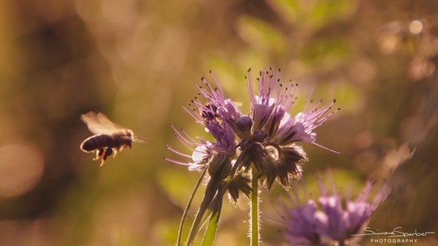 Wildbiene Naturfotografie Bewusstsein